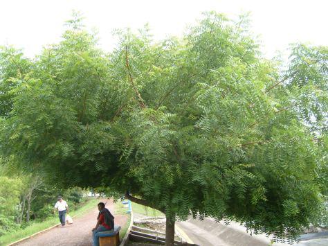 El árbol llamado Neem posee propiedades biocidas que podrían reemplazar al dañino glifosato. Los compuestos del neem son únicos ya que no mata de inmediato las plagas pero altera sus procesos metabólicos de manera sutil pero efectiva y por supuesto sin dañar al medioambiente.