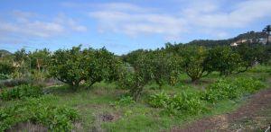 Naranjos en Huertos El Farmero EVA GONZÁLEZ / SANTA BRÍGIDA