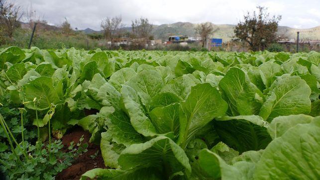 """Agricultores canarios impulsan la cosecha de """"residuo cero"""""""