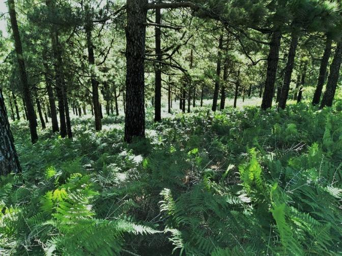 Con el Centimo Verde se prevé duplicar en 15 años la masa forestal de Gran Canaria